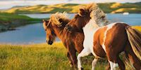 Ponies running in Lerwick, Scotland