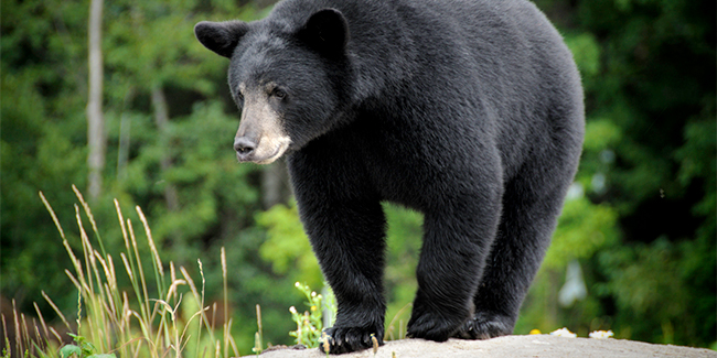 Black Bears: the most common bear in North America, these solitary forest dwellers range in color from black and brown to cinnamon and even white.