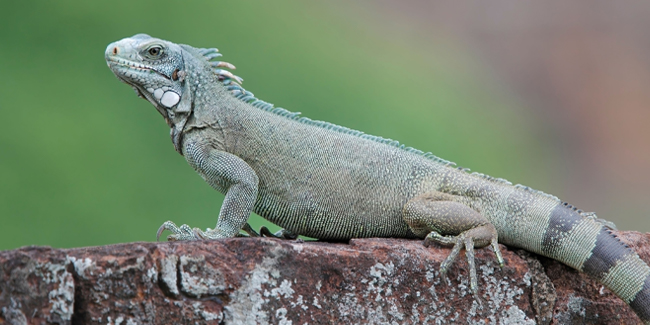 The Green Iguana has a wide variety of habitats ranging from the rain forests of northern Mexico to the Caribbean Islands and southern Brazil.