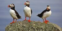 Three puffins standing on a rock